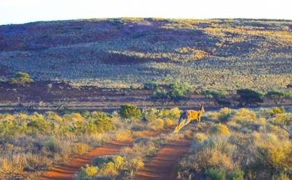 kangourou Gawler Ranges